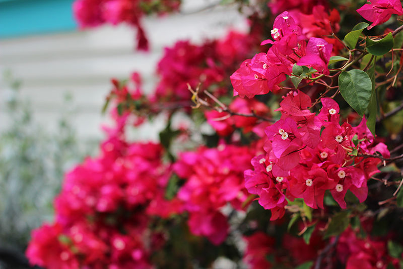 hot-pink-flowers