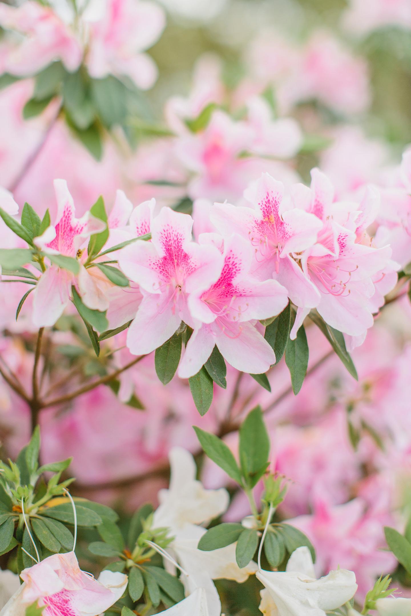 Charleston Pink Azaleas