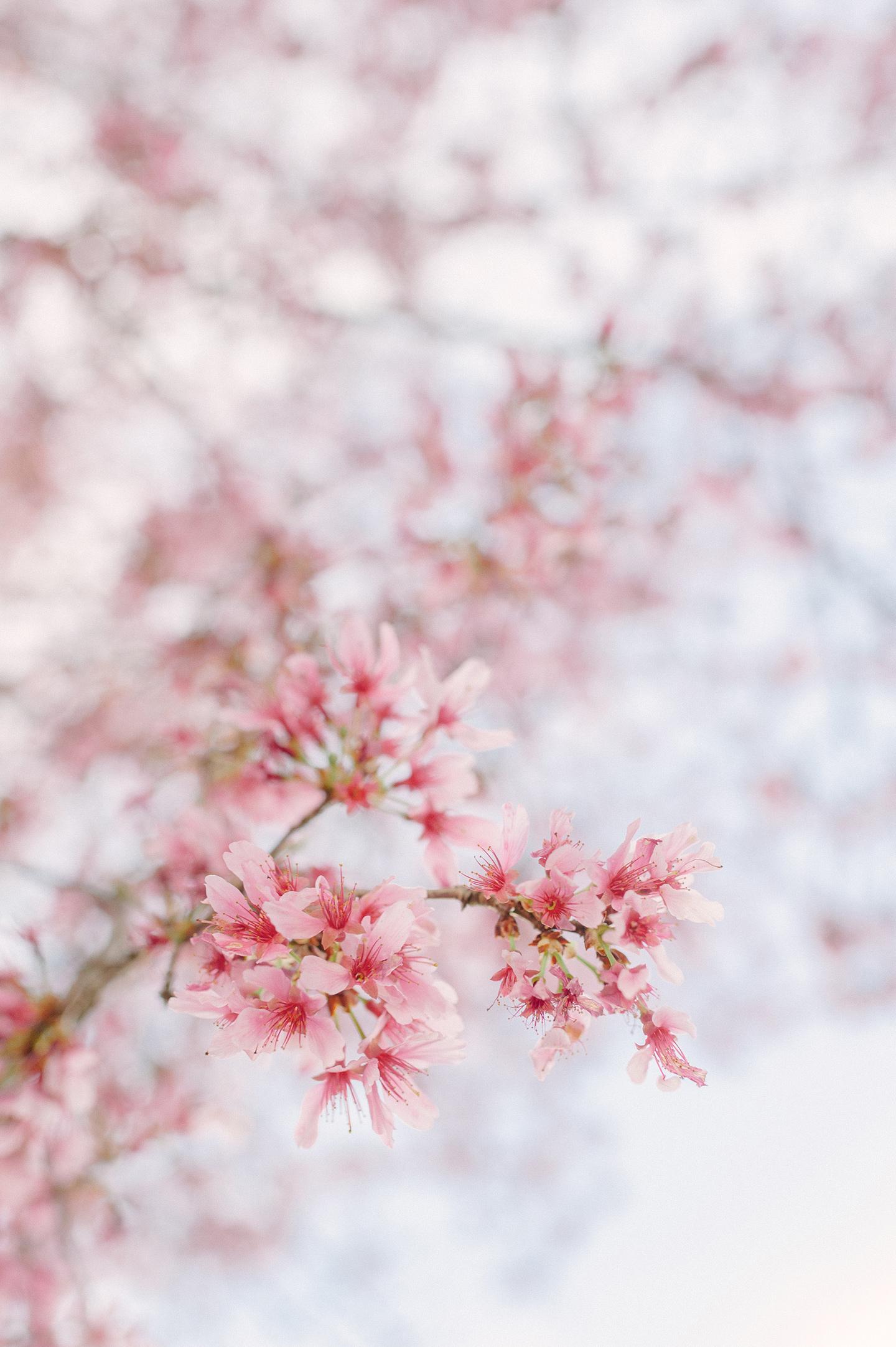 Charleston Cherry Blossoms
