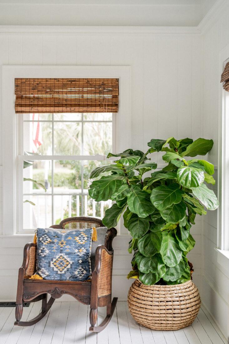 Fiddle Leaf Fig Corner