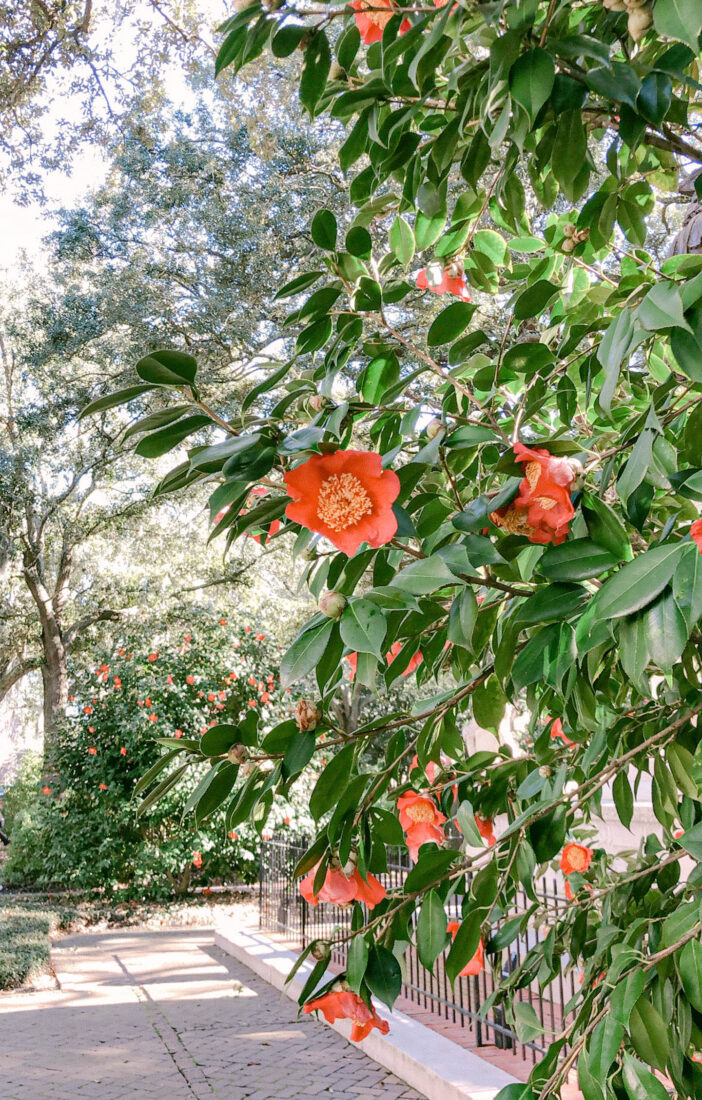 Guide to Savannah | Camellias in the Square