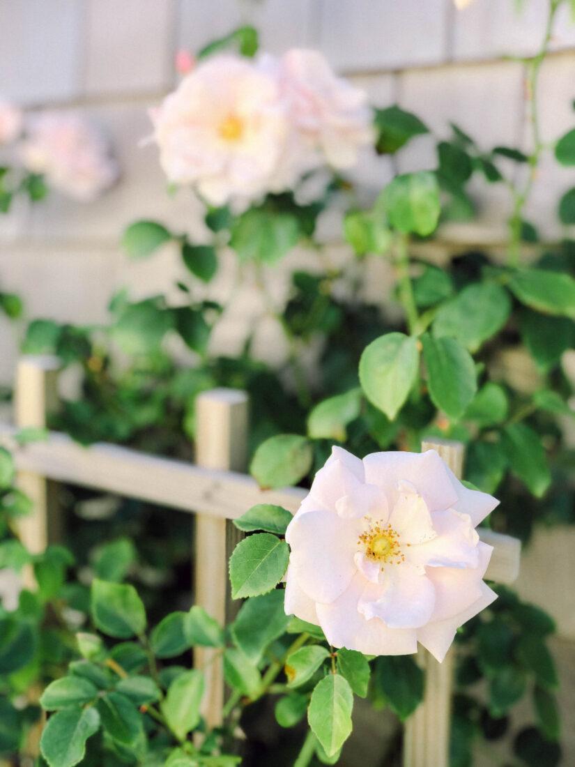 Nantucket Summer Pink Climbing Roses